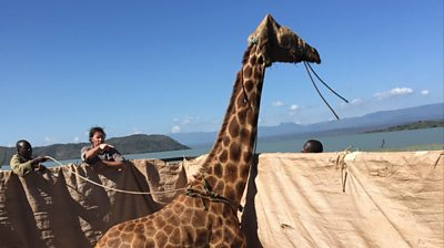 The stranded giraffes being rescued by raft